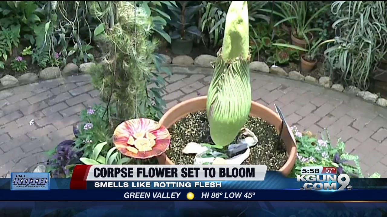 Corpse Flower Set To Bloom In Tucson Botanical Gardens Youtube