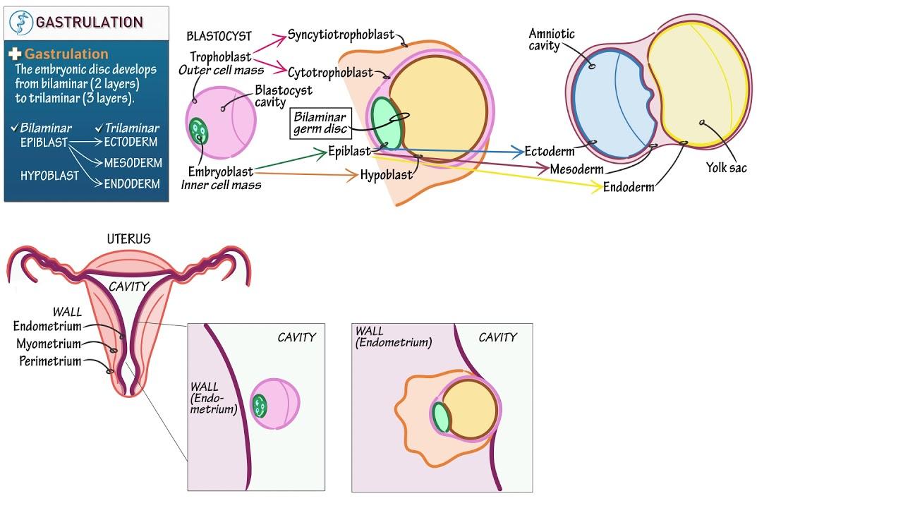 Download Embryology: Gastrulation