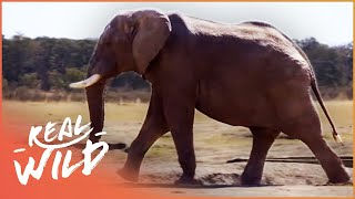 Walking With Elephants (Wildlife Documentary) | Real Wild
