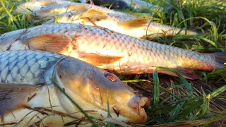 Карп на кукурузу и горох.Днестр Попался жерех/ Carp for corn and peas.River of the Dniester.