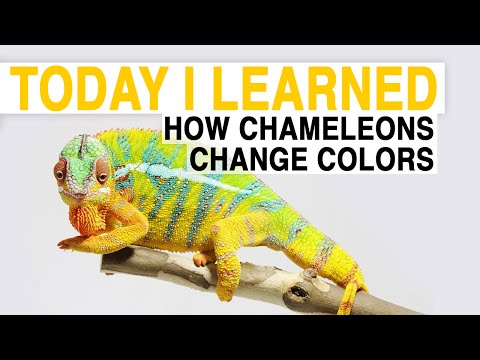 TIL: How Chameleons Change Color   Today I Learned