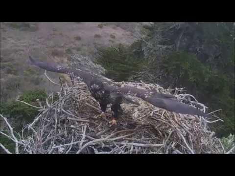 Sauces Bald Eagles- Last Eaglet Has...