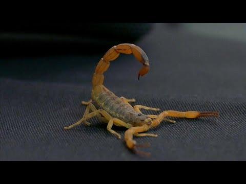 Número de picadas mortais de escorpião duplica no Brasil