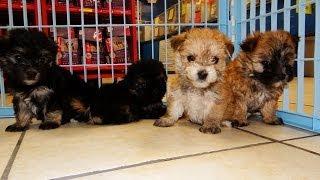 Morkie, Puppies For Sale, In, Richmond, Virginia, West, Va, Newport, County, Alexandria, 19breeders