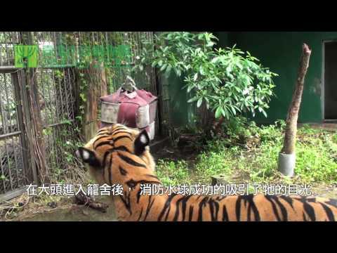 老虎行為豐富化(消防水球)