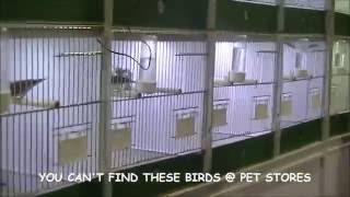 EXOTIC FINCHES & CANARIES - CANADIAN NATIONAL CAGE BIRD SHOW & EXPO 2014