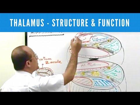 Thalamus - Structure & Function - Neuroanatomy