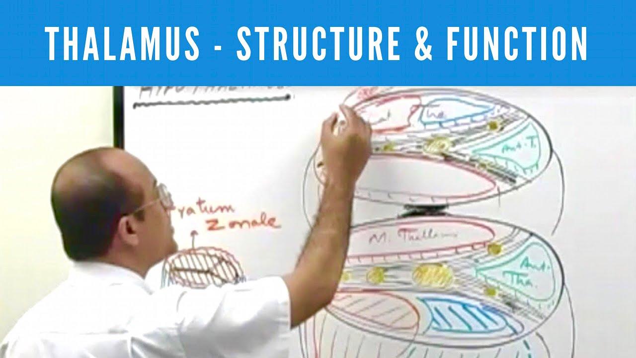 Thalamus - Structure & Function - Neuroanatomy - YouTube