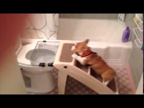 Huấn luyện chó đi vệ sinh