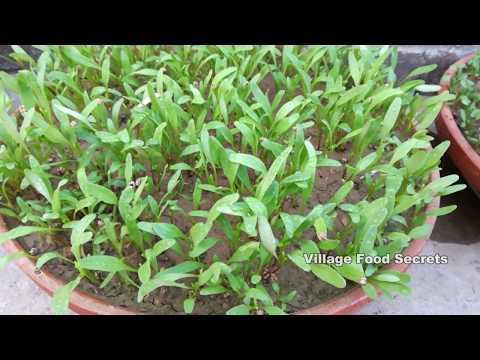 How to Grow Spinach Palak at Home Kitchen Gardening  Growing Spinach  Village Food Secrets