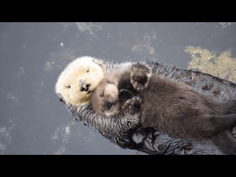 Newborn Sea Otter Pup Snuggles Up With Mom While Floating