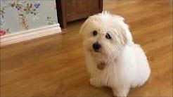 Training a Coton de Tulear Puppy