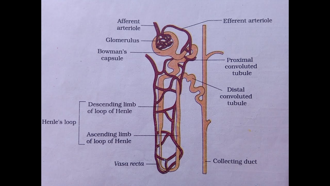 Nephron Diagram | How to draw labelled diagram of nephron | What is Nephron