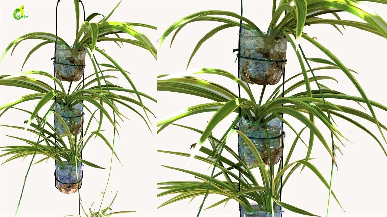 spider plant growing idea plastic