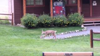 YMCA of the Rockies - Deer and Bunny Playing