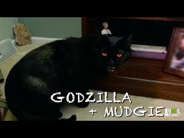 How Do You Like Meow: Godzilla and Mudgie | My Cat From Hell