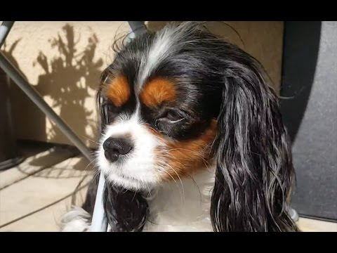 Ruby and Tricolor Cavalier King Charles Spaniel dogs