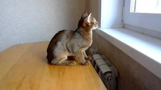 Абиссинская кошка тявкает на птичек