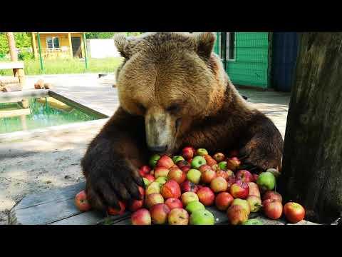 Завтрак медведя Мансура