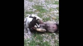 Питбультерьер против кавказской овчарки