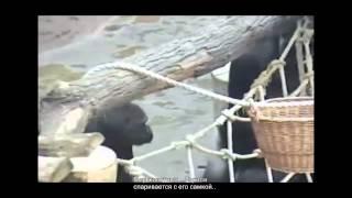 Животный мир.... животный секс горила спаривается