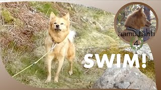 Finnish spitz demands to swim