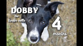 Border collie puppy /Dobby 4 months