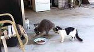 Енот слямзил еду у котов