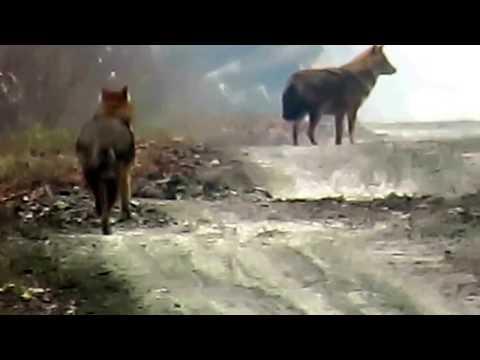 Čagalj ( Canis aureus ) Lonjsko polje