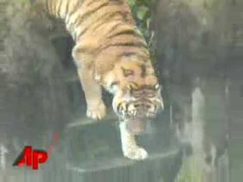 Teen tiger free teens — 13