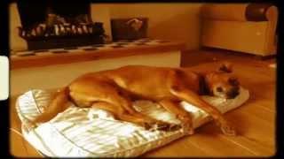 Boxer- Rottweiler Mix  -- Jake, Crossing The Border (panart Fih)