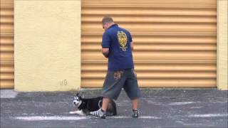 Dog Training In Miami- Me'cho The Husky In Training - K9 Enforcement Training