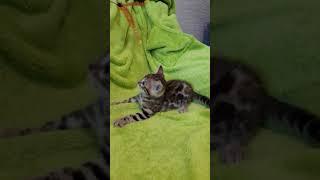 бенгальские котята в челябинске
