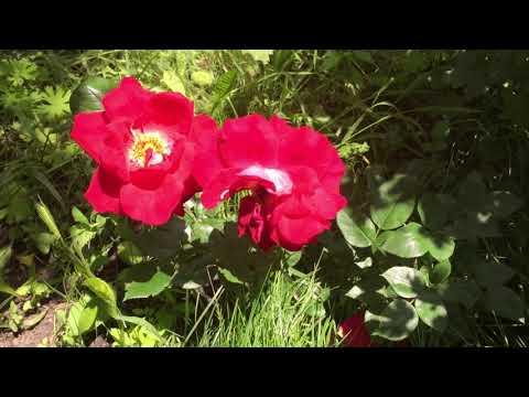 Роза парковая Квадра