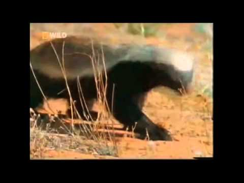 RayWJ Honey Badger Song