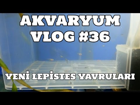 Hobihanem - Akvaryum Vlog #36 (Yavruluk Da Doğan Yeni Yavrular) [12.03.2017]