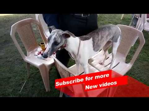 Wow ! Most Amazing dog breeds worldwide | Whippet |
