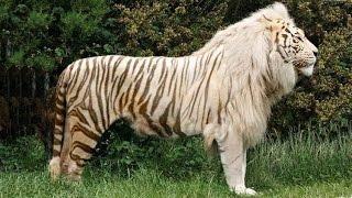 Top 10 Animais Híbridos Incríveis