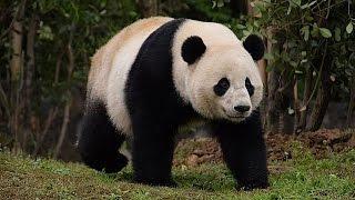 Panda Bao Bao ata topraklarında