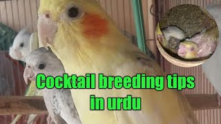 Cocktail bird Breeding tips in urdu