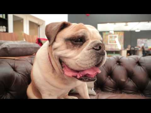 English Bulldog 101: Is a Bulldog Right For You?
