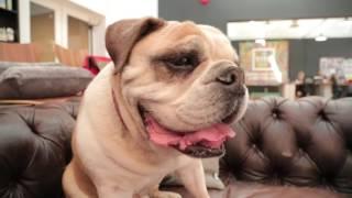 English Bulldog 101: Is a Bulldog Right For You?