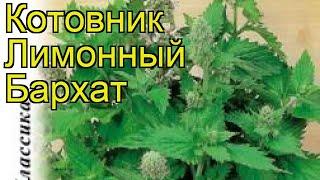 Котовник лимонный Бархат. Краткий обзор, описание характеристик, где купить семена népeta