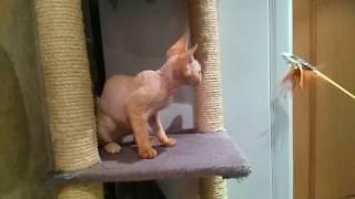 Девон Рекс котёнок из питомника в Москве.