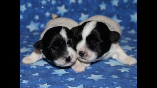 Coton Puppies For Sale - Jara Rose 9/30/20