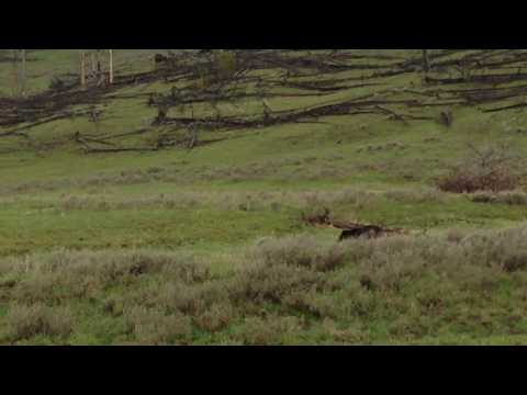 Grizzly bear surprises hikers in Yellowstone NP.