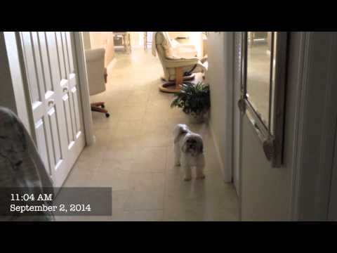 havanese-stopped-barking-and-jumping
