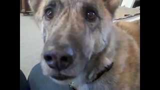 Самая популярная говорящая собака 2011 года на YouTube