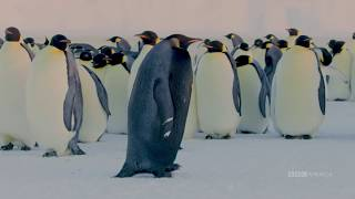 Is this the Rarest Penguin? | BBC America