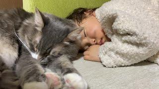 大人の手足には思いっきりしがみつく猫 ノルウェージャンフォレストキャットcat that clings to the limbs of an adult. Norwegian Forest Cat.